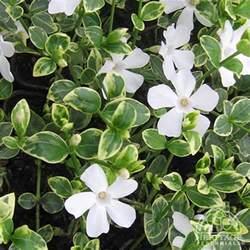 plant profile for vinca minor evelyn variegated