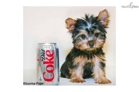 20 pound yorkie terrier yorkie puppy for sale near columbus ohio f061c155 e8e1