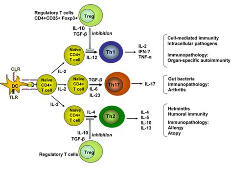 figure 1 regulatory t cell how can our immune system suppress itself t regulatory