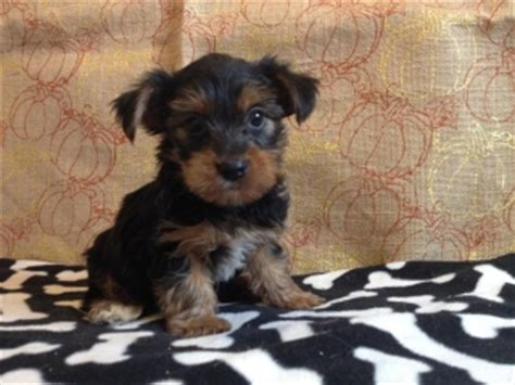 yorkie puppies for sale 200 dollars teacup yorkie puppies for 200 dollars or for sale united states pets 1