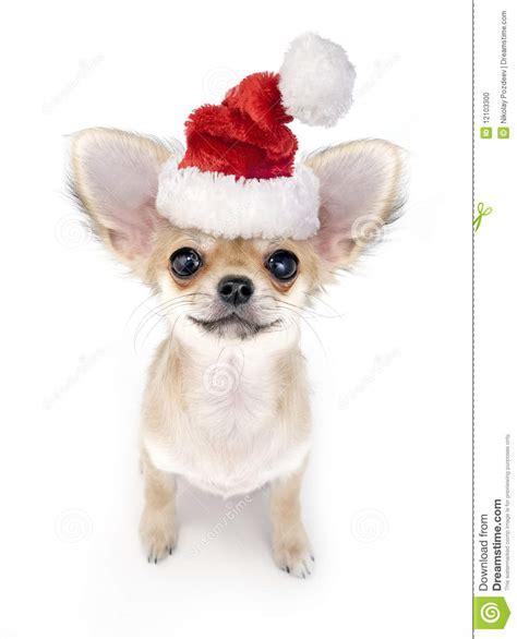 cute chihuahua puppy  santa hat stock photo image