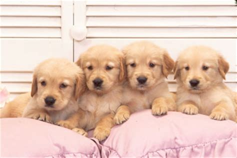 golden retriever food amount how to choose the best breed for your family faith filled food for