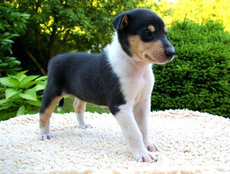 smooth collie puppies smooth collies puppies pictures photos pics breeds picture