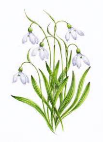 snowdrop pictures pics images and photos for inspiration