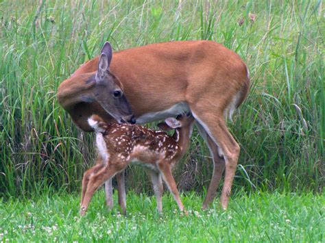 imagenes de animales con sus crias fawn with mother check out this precious moment from two