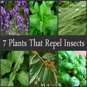 7 great plants that are natural insect repellents diy