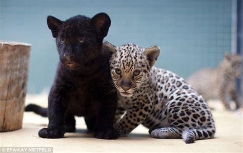 berlin zoo celebrates  adorable trio  jaguar cubs