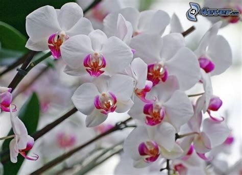 orchidea fiori orchidea