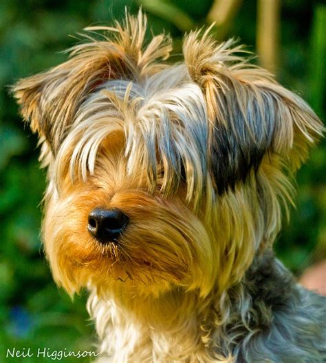 yorkie comb 18 best yorkies are the best images on