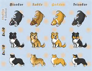 akc colors for shelties shelties purebred and perfect