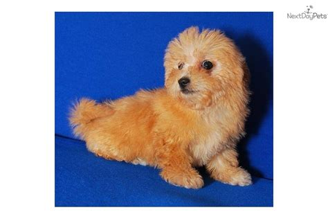 apricot maltipoo puppies for sale apricot maltipoo car interior design