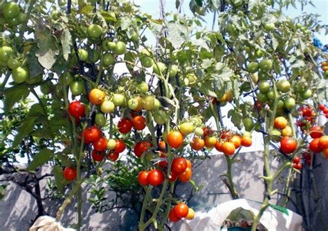 tomato tree how to grow tomatoes