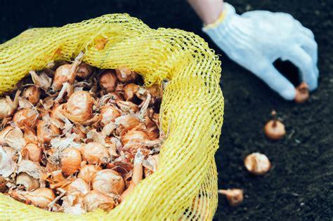 wann zwiebeln stecken zwiebeln 187 wann ist pflanzzeit