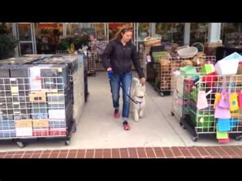 5 month puppy behavior 5 month goldendoodle puppy rewarded behavior continues now in boone