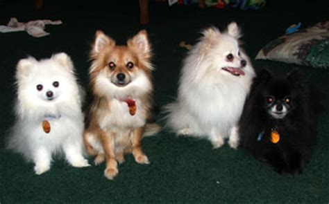 20 pound pomeranian pomeranian pictures pictures and information about pomeranians