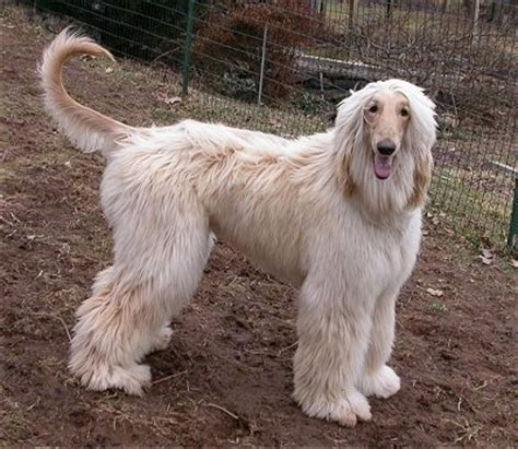 afghan breed 1000 images about afghan hound on