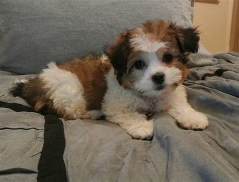 puppies for sale jackson mi shichon teddy puppies for sale in jackson michigan classified hoodbiz org