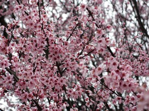 file flowering plum pink purple west virginia