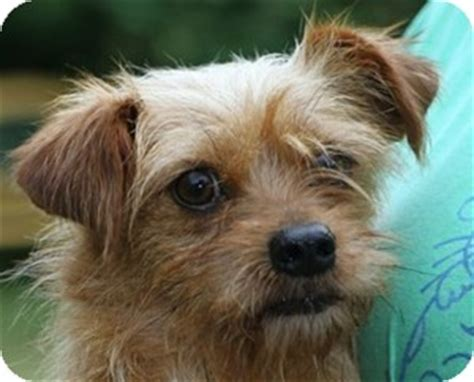 cairn yorkie mix tahoe adopted east hartland ct cairn terrier yorkie terrier mix
