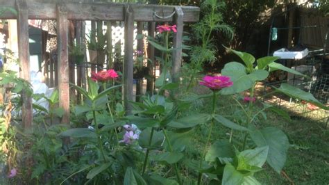 Worlds Tallest Organic Roses by Zinnia 4 1 2 Foot Cosmos Flowers 5 Foot
