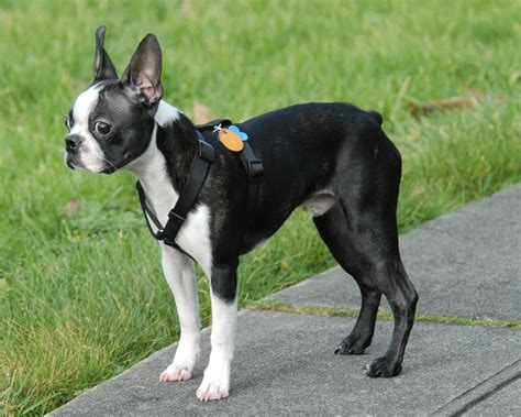 boston terrier names for boston terrier dogs breeds picture