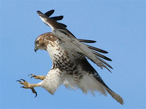 the hawks dual and divided nature the hawk is dying but not in my