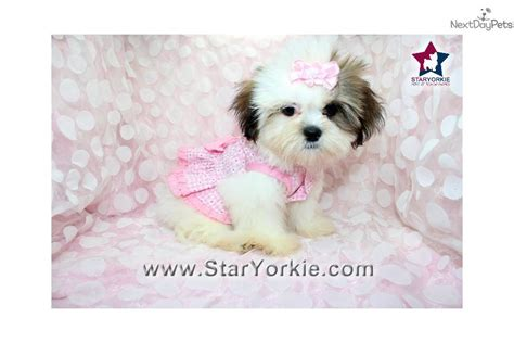 shih tzu puppies california pekingese puppies for sale california breeds picture