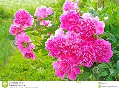 pink peonies nursery pink peonies stock photo image of gardening bloom
