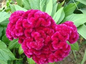celosia flower glimpses of meet celosia