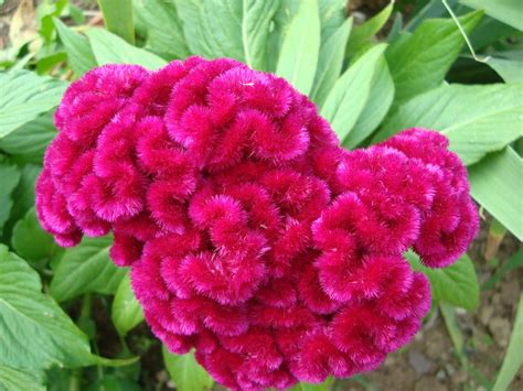 High Heat Plants by Glimpses Of Glory Meet Celosia