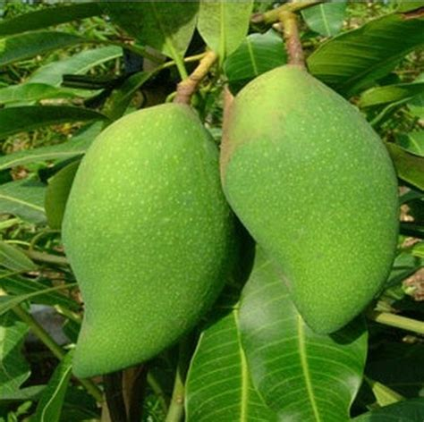 Tanaman Mangga Khieo Sawoi Tinggi 40 60 Cm tanaman mangga falan bibitbunga