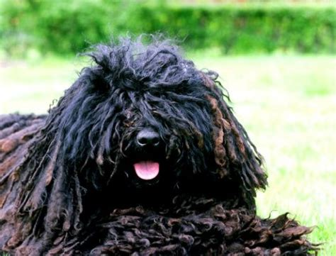 mop breed breeds with dreads breeds picture