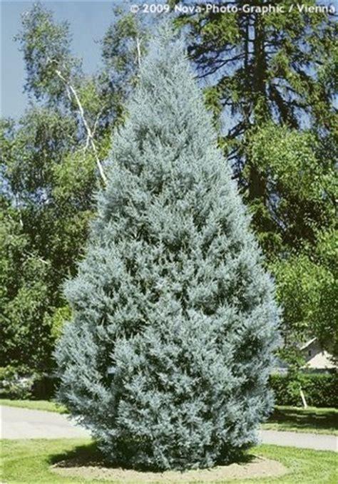 decorated blue arizona cypress cupressus arizonica fastigiata havlis cz