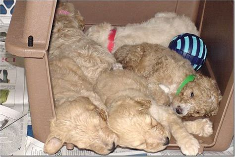 goldendoodle puppy crate crate goldendoodle puppies by moss creek