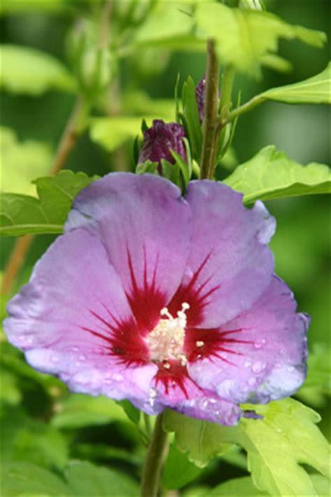hibiskus in der wohnung beliebte hibiskus sorten gartenhibiskus co
