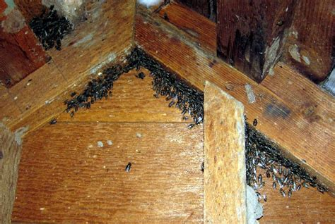 flies in my house lovely attic flies 1 cluster flies in house newsonair org