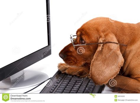 puppy keyboard cocker spaniel using keyboard and looking monitor stock photography