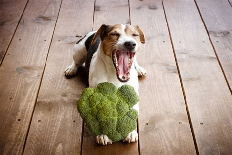 is broccoli ok for dogs vegetables for dogs petcha