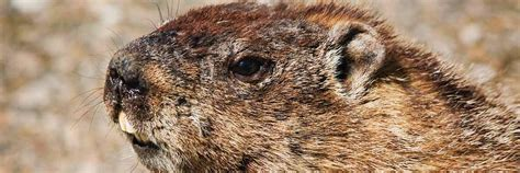 groundhog day german groundhog day forecast winter isn t yet farm and dairy