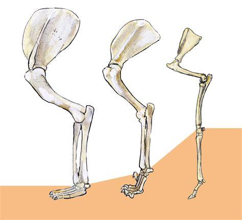 pics for gt deer leg bone anatomy