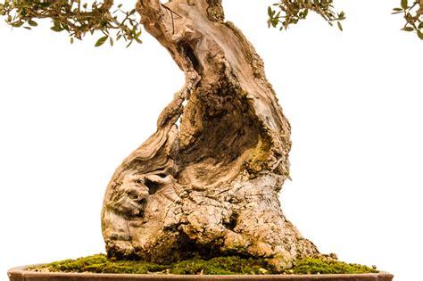 Olivenbaum Im Zimmer 3810 by Olivenbaum Im Zimmer Olivenbaum Carmens Bonsai Garten