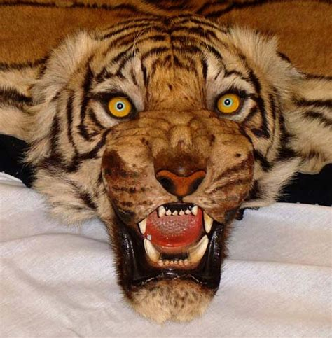 Real Tiger Rugs For Sale pin tiger rug faux fur animal skin pelt hide 3x5 new ebay on