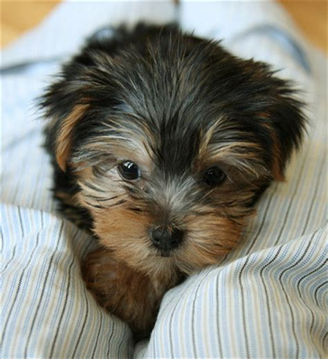 how to breed yorkies meet the breed terrier yorkie baxterboo