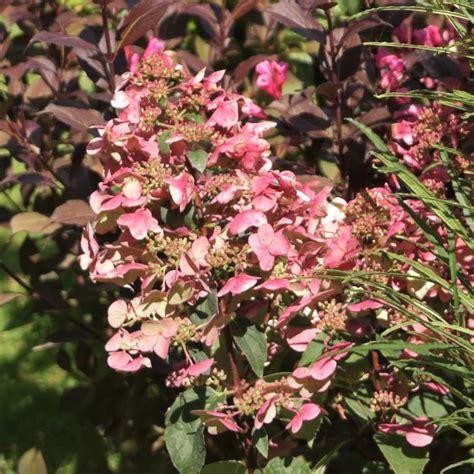 Hydrangea Paniculata Wims 5299 by G Artenreich Rispenhortensie Quot Wims 174 Quot Pflanzenfee