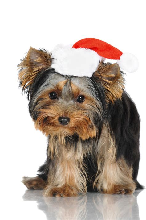 yorkshire terrier puppy   santa hat stock image image  canine seasonal