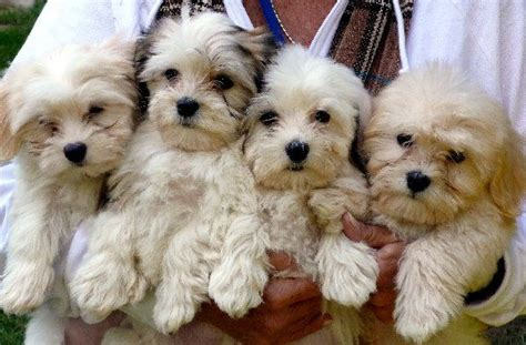 lifespan of havanese havanese not in the housenot in the house