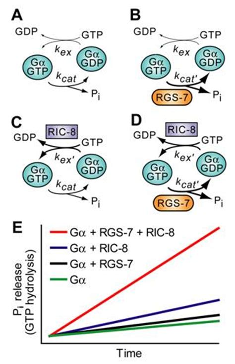 q protein code gtp binding protein alpha subunits gq g11 g alpha q