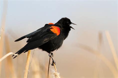 josh s blog red winged blackbird