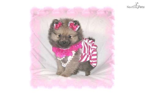 teddy pomeranian breeders sale teddy micro teacup yorkie breeds picture