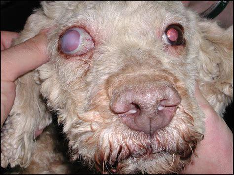 dolore all angolo interno dell occhio oftalmologia veterinaria glaucoma oftalmologia veterinaria